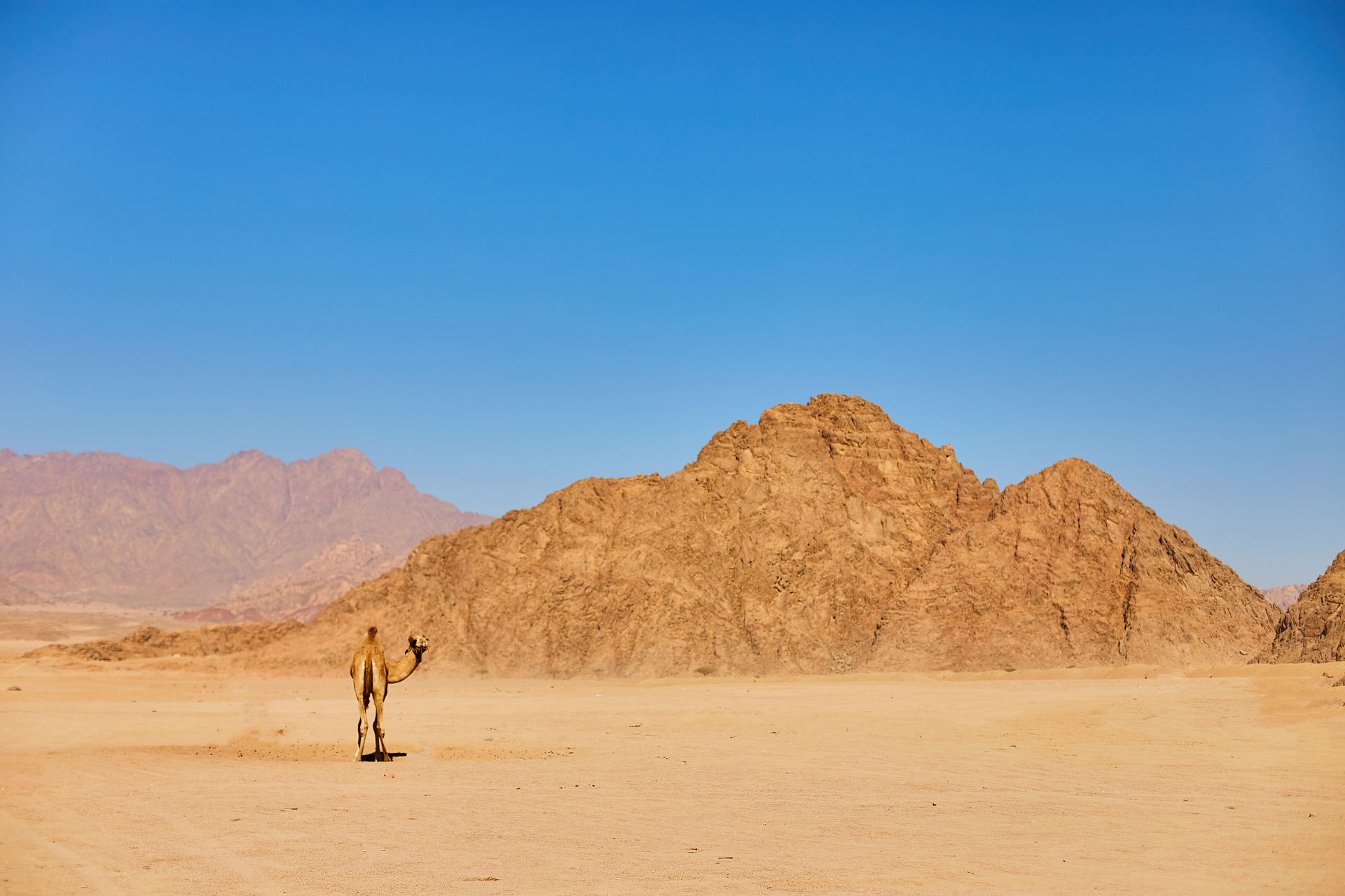 One Camel stay on a desert land
